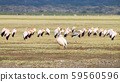 Great white pelican with flock of Yellow billed 59560596