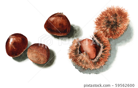 板栗魷魚和水果畫水彩 59562600