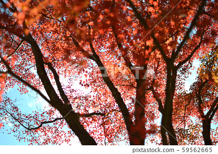Scenery of autumn leaves 59562665