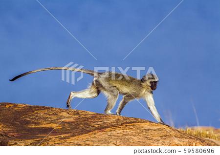 Vervet monkey in Kruger National park, South 59580696
