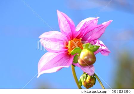 코우테이다리아 꽃 59582890