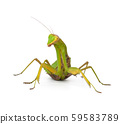 large green mantis on a white background looks at 59583789