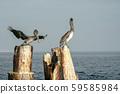 Pelican bird in baja california 59585984