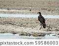 eagle on the beach in baja california 59586003