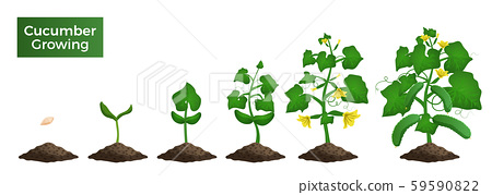 Cucumber Growth Phases Composition 59590822