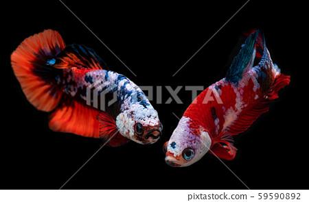 Koi galaxy fancy betta fish. 59590892