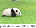 Baby panda 59596968