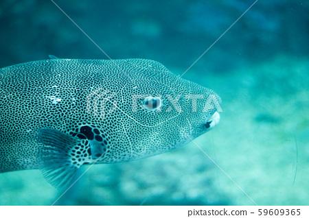 魚 59609365