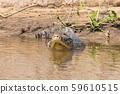 Caiman floating on Pantanal, Brazil 59610515