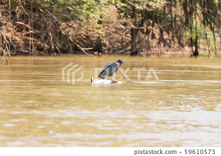 black vulture floating over a dead cayman on  59610573