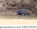 Giant otter from Pantanal, Brazil 59610594