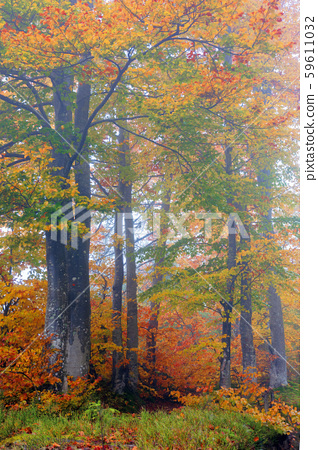 beech trees in colorful foliage 59611032