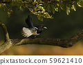 Close up of an Eurasian Magpie perched in a tree 59621410