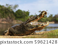 Close up of a Yacare caiman with open mouth 59621428
