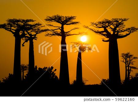 Stunning sunset above Baobab Avenue, Morondava, Madagascar 59622160