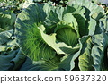 Autumn cabbage 59637320
