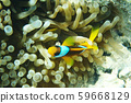 clownfish from egypt 59668129