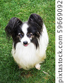 papillon dog in the green grass 59669092