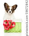 Continental toy spaniel puppy in basket 59672842