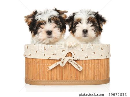 Biewer Terrier puppies sitting in basket 59672858
