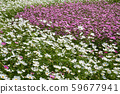 pink and purple cosmos flowers farm 59677941
