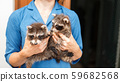 Two beautiful young raccoons in female hands. 59682568