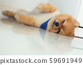 pomeranian puppy dog sleeping in home 59691949