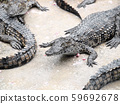 Crocodiles close up in Thailand 59692678