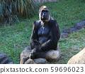 西部低地大猩猩 59696023