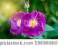 Rose and warm light in garden background , 59696960