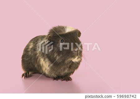 Crested guinea pig seen from the front on pink 59698742