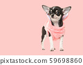 Chihuahua puppy wearing a pink sweater on pink 59698860