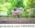 Muscovy duck in domestic park. 59699600