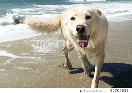 white wolf dog having fun at the beach 59702631