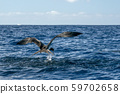 Frigate bird while catching a fish 59702658