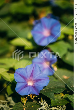 Blooming Pink Flowers Of Ipomoea Purpurea In Summer Garden 59708324