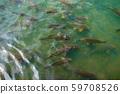 鯉魚 59708526
