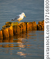 Seagull sitting on a pillar 59716800