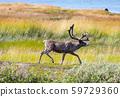 Reindeer 59729360