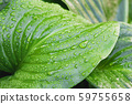 close-up of a tropical leaf with water drops. Dew on tropical leaves 59755658