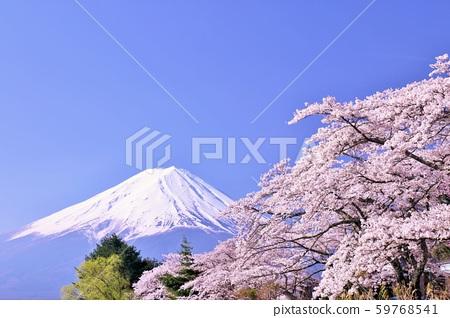 ฤดูใบไม้ผลิฟูจิในญี่ปุ่นและดอกซากุระ 59768541