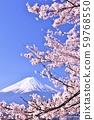 일본의 봄 후지산과 벚꽃 59768550