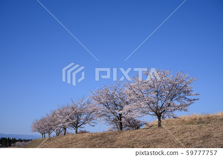Blue Sky and Cherry 59777757