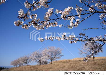 Blue Sky and Cherry 59777758