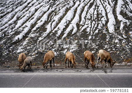 Herd of goats graze on side road with snow 59778181