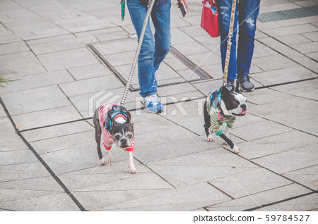 Two French Bulldog on the street. 59784527