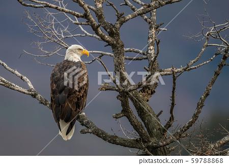 Bald Eagle  59788868