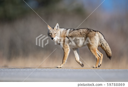 Coyote in Canada 59788869