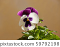 Bright flowers of pansies close-up on the background of a rough wall. pansies for decoration. 59792198