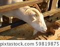 山羊 59819875